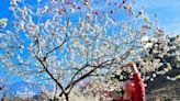 2020草坪頭櫻花季開跑了~李花櫻花熱情綻放中,南投賞櫻正是時候