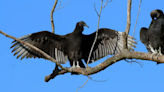 Buzzards are besieging a NC town. From cannons to horns -- nothing scares them off