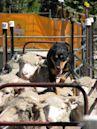 Domestication of animals