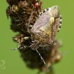 Stinkbug by Flickr user dasWebweib