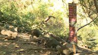 Raw Video: Raccoons Roam Golden Gate Park in San Francisco