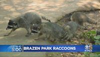 Fearless Raccoons Roaming San Francisco's Golden Gate Park