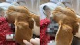 小貓躲進狗狗大耳朵熟睡 媽一掀開笑:當作被子嗎?