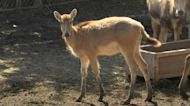Asian deer's comeback marks rare China conservation success