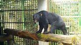 編號711東卯山黑熊恢復良好!林務局:朝野放方向準備 | 生活 | Newtalk新聞
