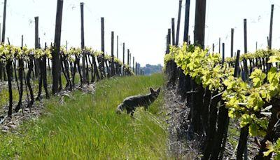La viña más grande de Chile se integra a importante red global de biodiversidad - La Tercera