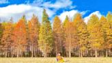 【2020秋遊攻略】賞楓,銀杏,落羽松,山毛櫸景點x時程整理!