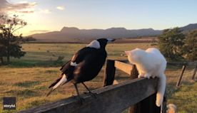 Mimicking Magpie Delivers Pitch-Perfect Rooster Crow at Sunrise as Cat Watches On