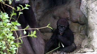 直擊》史無前例放2個多月大假 北市動物園「寶寶們」激增-風傳媒