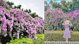 唯美「蒜香藤」花海彷彿紫色瀑布!2週超稀有花期、聞起來有淡淡蒜香⋯賞花景點看這裡