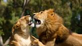 8頭獅子也確診!印度動物園緊急禁止民眾入內
