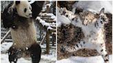 四川上演功夫熊貓「真熊版」!雪豹首度現身熊貓領地