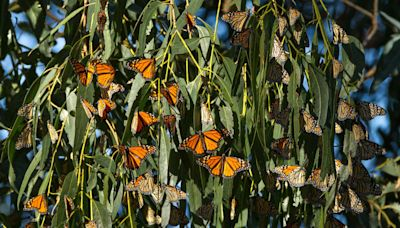 This Little California Beach Town Is the Best Place to See the Great Monarch Butterfly Migration — but They Need Your Help