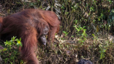 紅毛猩猩伸出「猿」手 解救受困管理員