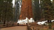 Giant California trees wrapped for fire protection