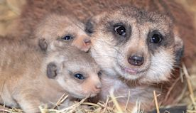 Zoo Miami is latest to close over concerns. But you can always watch the meerkats