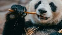 Bamboo Snacks and Other Giant Panda Bear Facts