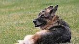 Joe Biden's 13-year-old German shepherd Champ has died