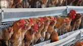 波蘭南韓爆高致病性禽流感 港停進口禽類產品