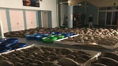 Thousands of Rescued Sea Turtles Returned to Ocean Following Winter Storm in Texas