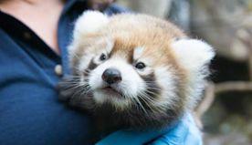 Oregon Zoo's Red Panda Cub Is A Boy | News Radio 1190 KEX | Portland Local News