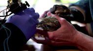 Siberian vet uses tattoos to protect rare falcons