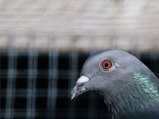Australia to kill US pigeon that crossed Pacific