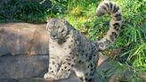 Even A Snow Leopard At The San Diego Zoo Has COVID Now