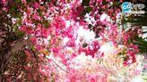 不用出國亦可賞櫻花!盤點13大香港賞花地點:櫻花、 藍花藤、黃花風鈴(附開花時間)   SundayMore