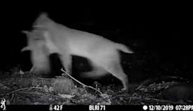 Wildlife camera captures bobcat running with dinner in its mouth on Blue Ridge Parkway