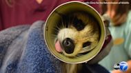 Raccoon gets head stuck in Campbell's soup can, vets use can opener to free him