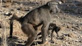 Primate Mothers Carrying Infant Corpses Implies Awareness Of Death