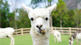 Pizza shop owner accused of using PPP to buy alpaca farm, faces federal fraud charges