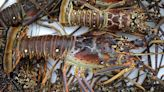 Grab Your Tickle Stick: Florida Lobster Mini Season Begins Wednesday Night