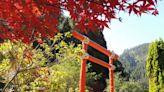 楓葉紅了 台灣五大賞楓勝地、秋季限定落羽松 一日遊最低每人588起