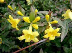 Gelsemiaceae