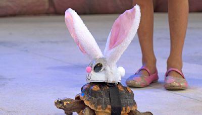 Rabbit-eared tortoise pleases at Key West Fantasy Fest
