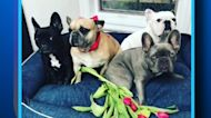 Lady Gaga's dogs stolen in Hollywood shooting