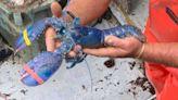 機率200萬分之一! 美國漁夫捕獲珍稀藍龍蝦