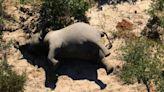 慟!非洲驚傳350頭大象離奇暴斃 專家:恐成新公衛危機