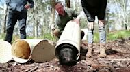Chris Hemsworth helps return Tasmanian devils