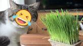 貓咪吃貓草竟露誇張表情 網一看笑翻:大事不妙了!