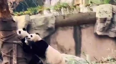 Giant pandas drop everything and scurry up tree during earthquake in central China
