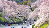 2020日本東京櫻花季!新宿御苑、上野恩賜公園等8個不可不知的最美景點!