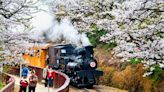 【櫻花季】花現阿里山,春遊浪漫粉紅櫻花海!