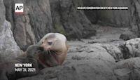 California sea lion born at New York Aquarium