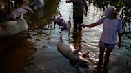 河南水災:過百頭豬被活活淹死 豬農「傾家蕩產」感絶望