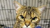 Ohio Shelter Assures that Giggles the Scowling Cat Is Actually Quite 'Sweet and Charming'