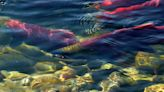 Instead of braving the river, these endangered salmon take the highway