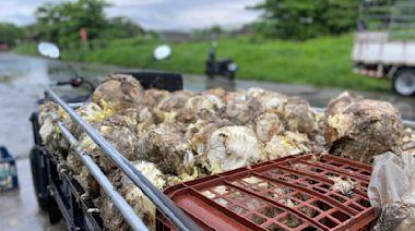疫情銷路減少菜沒人要 高麗菜腐爛堆成小山、農民欲哭無淚